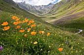 Orange poppies on a mountainside
