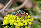 Clerid beetles mating on a flower