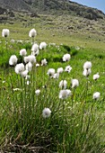 Cotton grass on a mountainside
