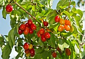 Cornelian cherries (Cornus mas) on a tree