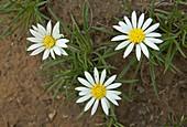 Mountain gerbera (Hirpicium armerioides)