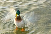 A Male Mallard duck flapping