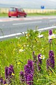 Orchids growing on a roadside verge