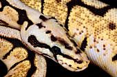 Bumblebee royal python