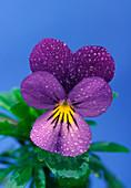 Violet with dew