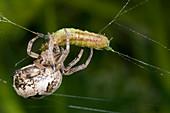 Foliate spider feeding