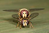 Hover-flies