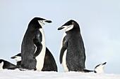 Chinstrap penguins Pygoscelis antarctica