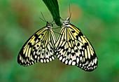 Rice paper butterflies mating