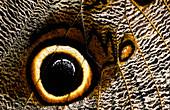 Owl butterfly eyespot