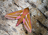 Elephant hawk-moth