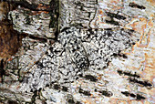Peppered moth,pale form