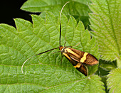 Yellow-barred longhorn moth