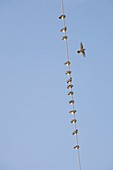 Waxwings on a telegraph wire