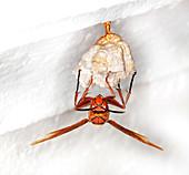 Hornet preparing paper nest,Vietnam