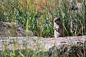 Uinta ground squirrel,Yellowstone,USA