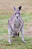 Eastern Grey Kangaroos grazing
