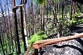 Burnt forest near Marysville,Australia