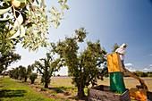Pear orchard,Australia