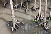 Mangrove swamp at high tide