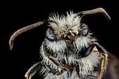 Sandpit mining bee