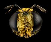 Hoverfly head