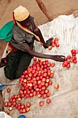 Selling tomatoes,Ghana