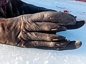 Walrus rear flipper