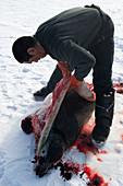 Inuit hunter butchering a seal