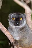 Sanford's brown lemur female