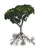 Beech tree illustration