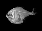 Marine hatchetfish,X-ray