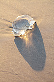 Piece of jellyfish on a beach