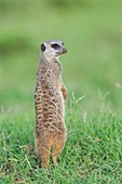 Meerkat standing on guard duty