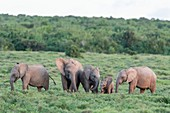 African Elephant calves greeting