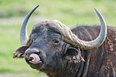 Cape Buffalo licking its lips