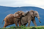 African Elephant bulls fighting