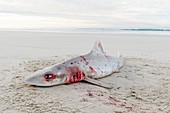 Smooth Hound Shark caught by line fisher