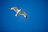 A Herring Gull in flight