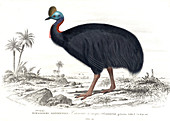 Cassowary,19th Century illustration