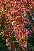 Henry's maple (Acer henryi)