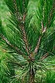 Bosnian pine (Pinus heldreichii)