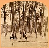 Date palms and Nile flood,Egypt,1890s