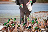 Woman feeding mallard ducks