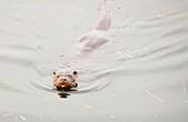 European Otter,Lake Windermere,UK