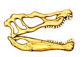 Spinosaurus dinosaur skull,illustration