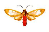 Tiger moth,illustration