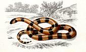 Coral snake,19th Century illustration