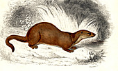Weasel,19th Century illustration