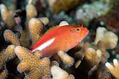 Arc-eye hawkfish amongst coral